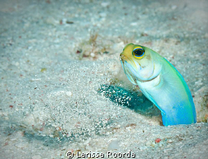 Yellow-headed Jawfish cleaning his home.  Caught him spit... by Larissa Roorda